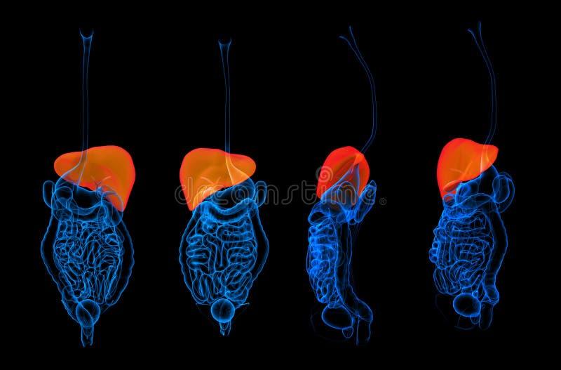 3d que rende o fígado humano do sistema digestivo ilustração stock