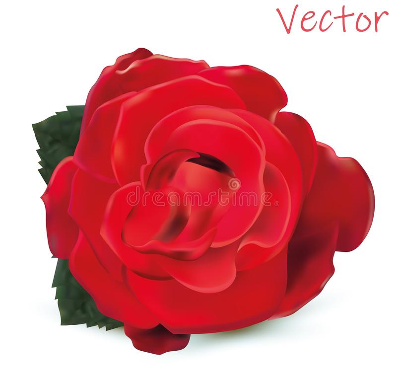 3d realistic rose isolated on white background. Vector illustration. Rose close-up. stock illustration