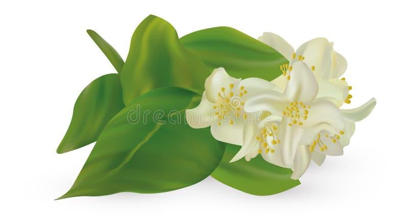 3d realistic white jasmine on white background. Branch jasmine close up. Vector illustrator. vector illustration
