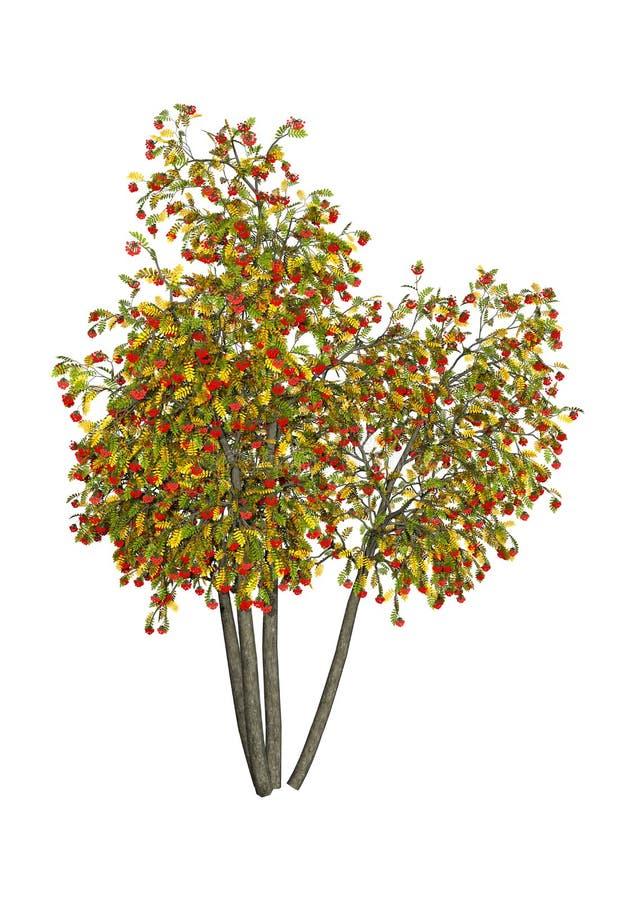 3D rendant Rowan Trees sur le blanc illustration stock