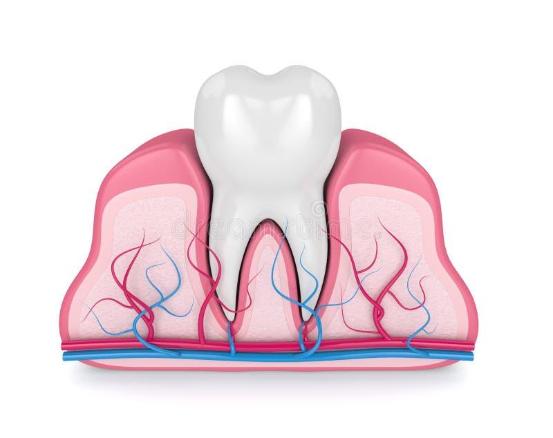3d rendem do dente nas gomas com nervos e vasos sanguíneos ilustração do vetor