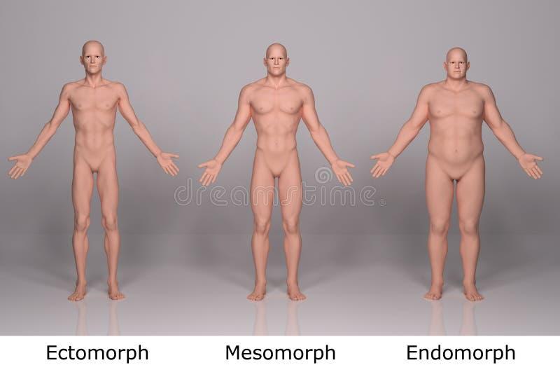 3D rendem: ilustração do tipo de corpo masculino, parte anterior ilustração do vetor
