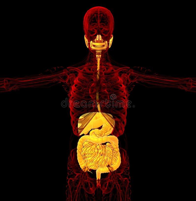 3d rendem a ilustração médica do sistema digestivo humano ilustração do vetor