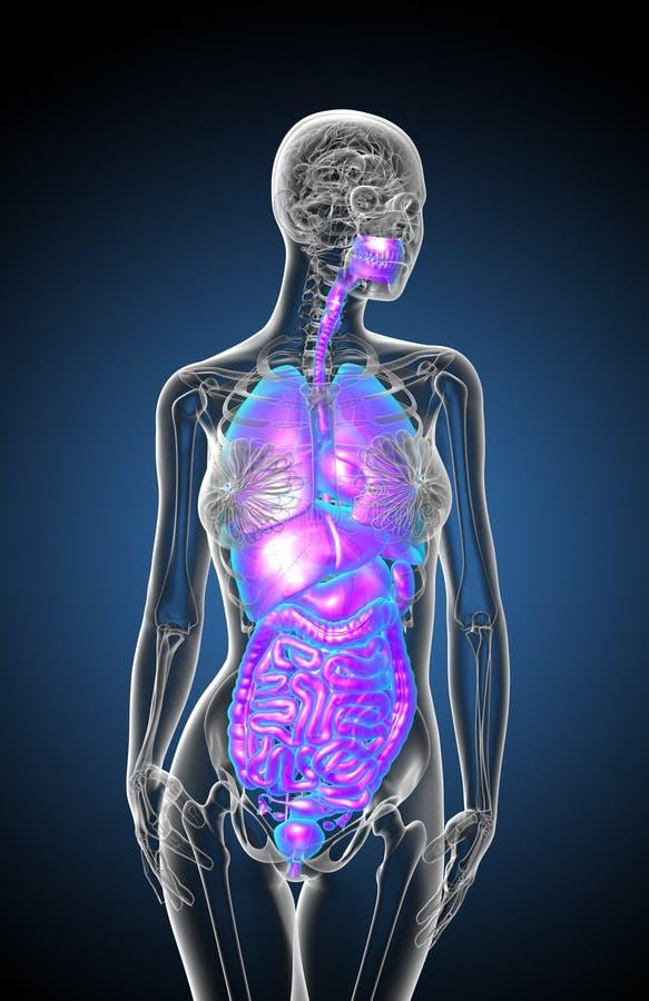 3d rendem a ilustração médica do sistema digestivo humano e ilustração stock