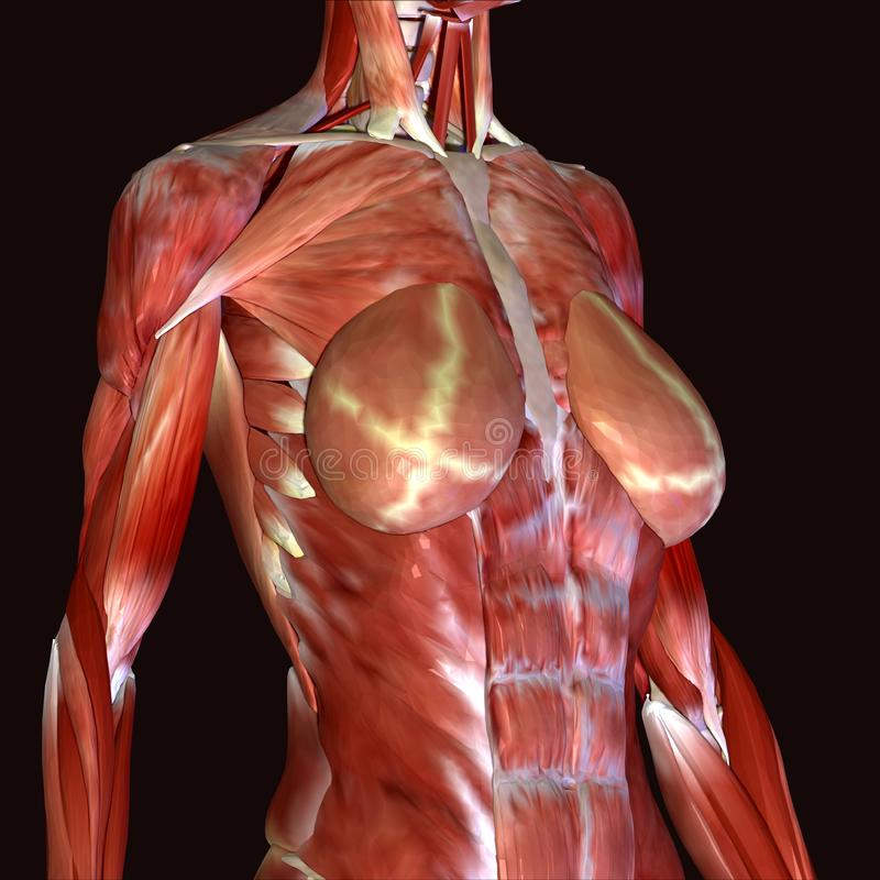 3d rendent dépeindre la structure de muscle du corps humain illustration de vecteur