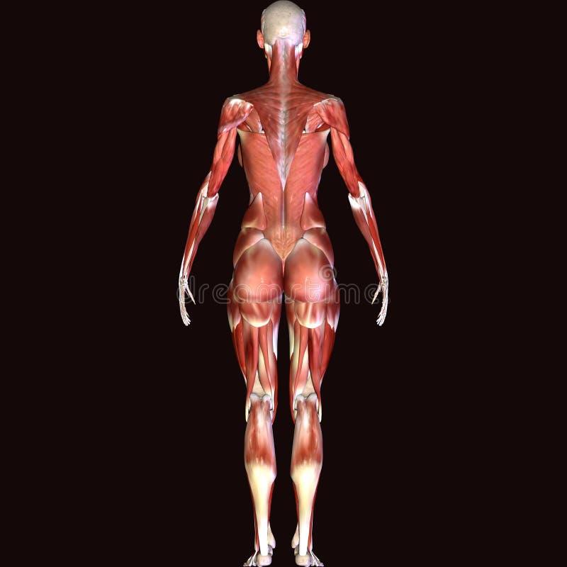 3d rendent dépeindre la structure de muscle du corps humain - modèle masculin illustration libre de droits