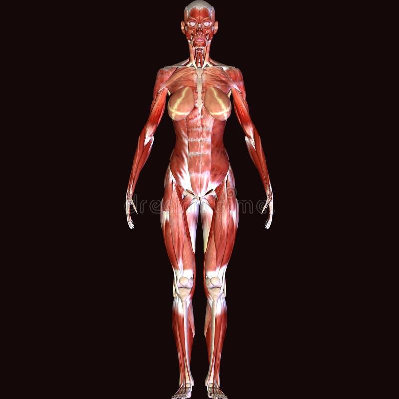 3d rendent dépeindre la structure de muscle du corps humain - modèle masculin illustration stock