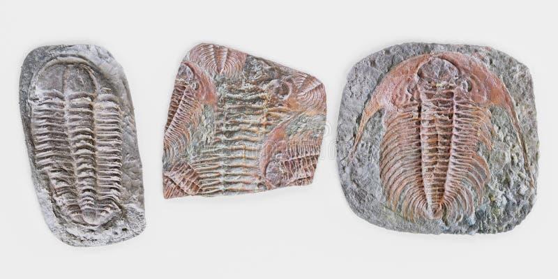 3D rendent des fossiles de Trilobite illustration libre de droits