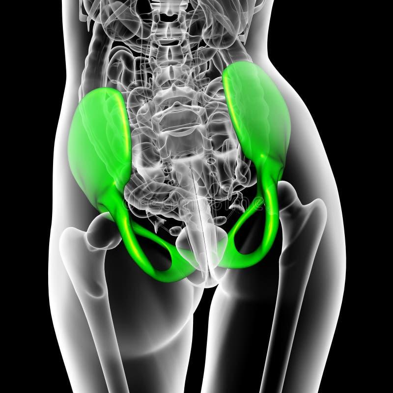 3d rendent l'illustration médicale de l'os de bassin illustration de vecteur