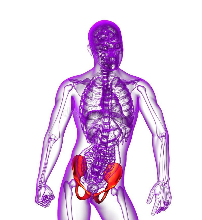 3d rendent l'illustration médicale de l'os de bassin illustration libre de droits