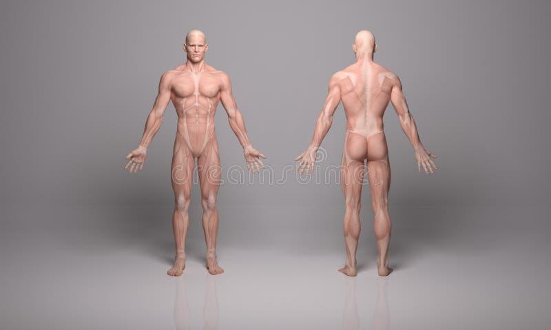 3D rendent : une illustration d'un modèle masculin avec des tissus de muscle illustration de vecteur