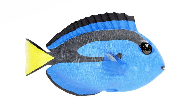 3D Render of Blue Tang Fish. Realistic 3D Render of Blue Tang Fish royalty free illustration