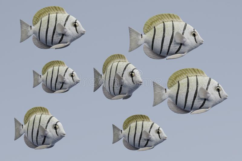 3d Render of Convict Tang Fish. Realistic 3d Render of Convict Tang Fish vector illustration