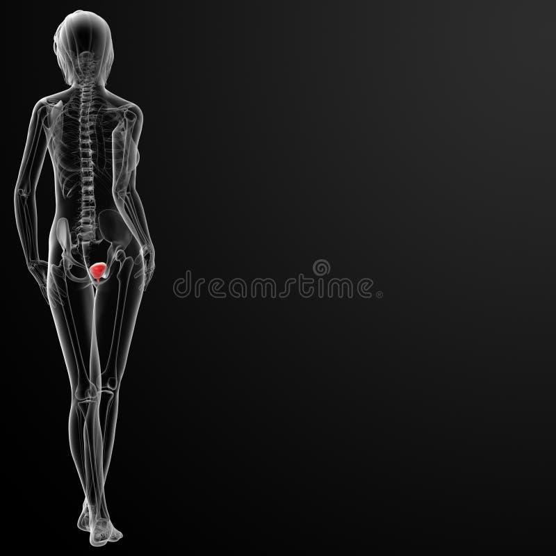3d render female bladder anatomy x-ray vector illustration