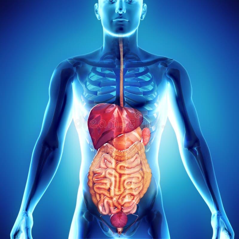 3d render of gastric system human body illustration royalty free illustration