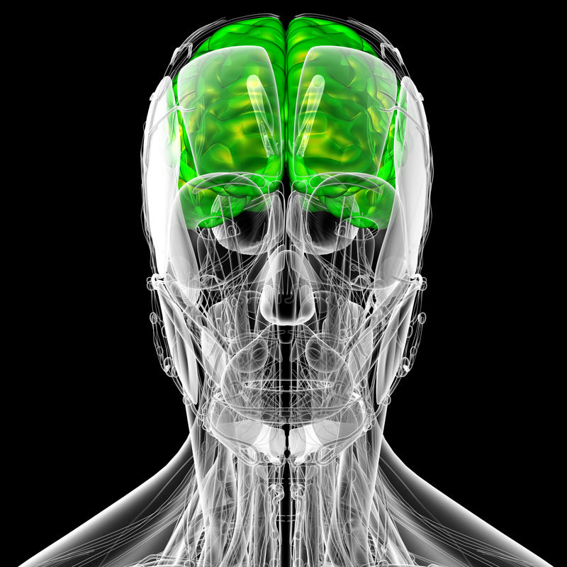 3d render medical illustration of the brain royalty free illustration