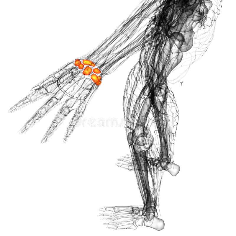 3d Render Medical Illustration Of The Carpal Bone Stock Illustration ...