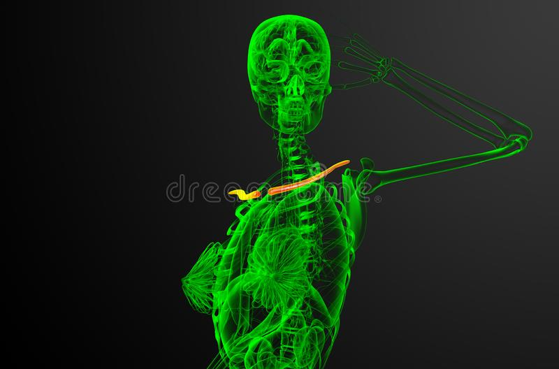 3d render medical illustration of the clavicle bone vector illustration
