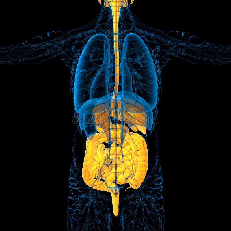 3d render medical illustration of the human digestive system stock illustration