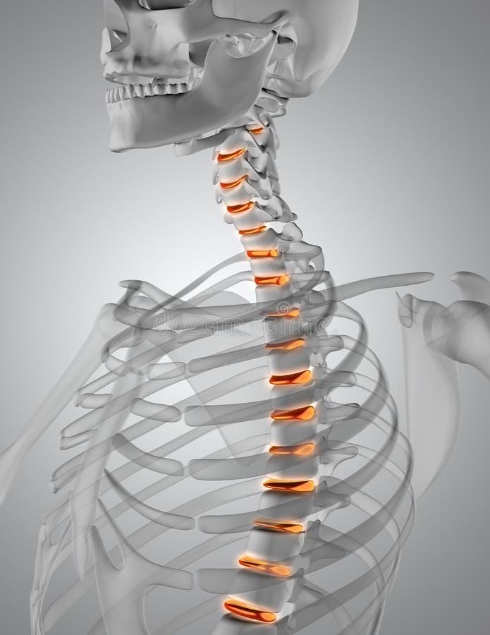 3D render of a spine highlighted in skeleton stock illustration