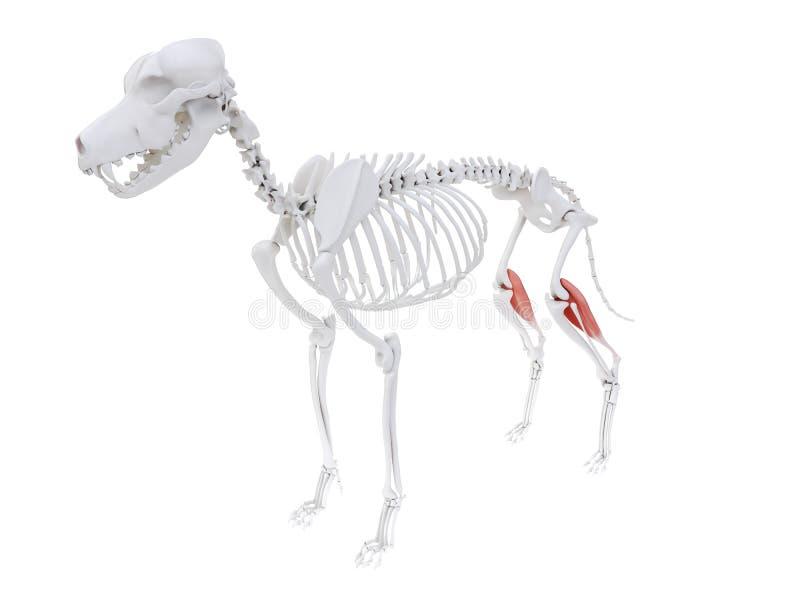 Gastrocnemius. 3d rendered illustration of the dog muscle anatomy - gastrocnemius stock illustration