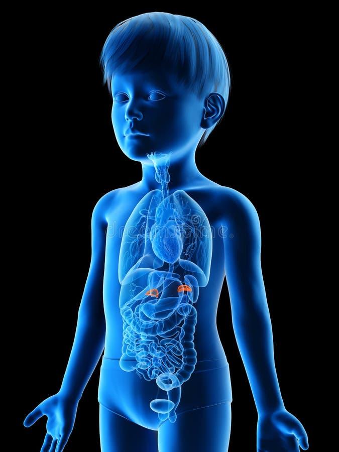 A boys adrenal glands. 3d rendered medically accurate illustration of a boys adrenal glands royalty free illustration