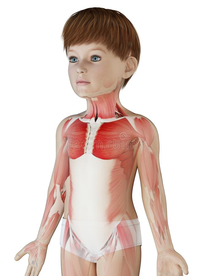 A boys muscle anatomy. 3d rendered medically accurate illustration of a boys muscle anatomy stock illustration