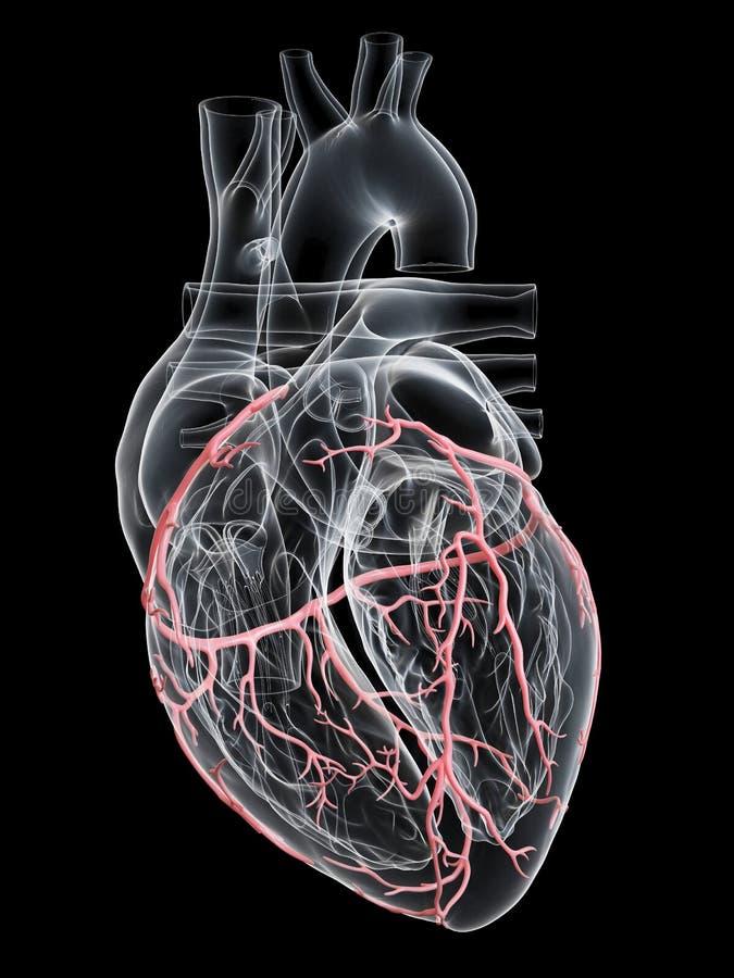 The coronary arteries stock illustration