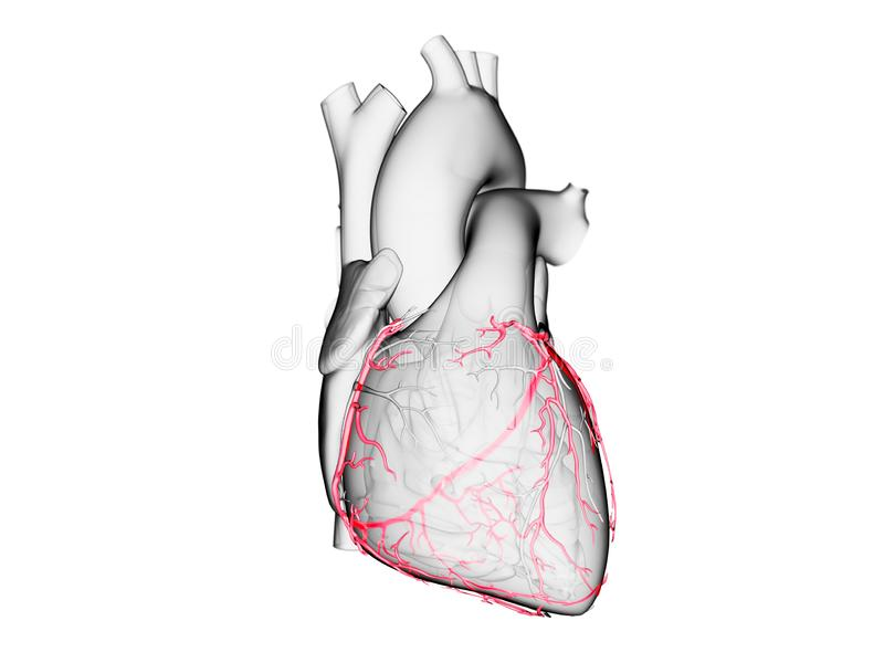 The coronary arteries. 3d rendered medically accurate illustration of the coronary arteries vector illustration