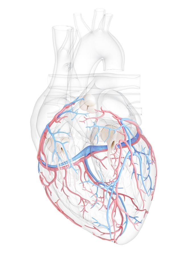 The coronary blood vessels. 3d rendered medically accurate illustration of the coronary blood vessels royalty free illustration