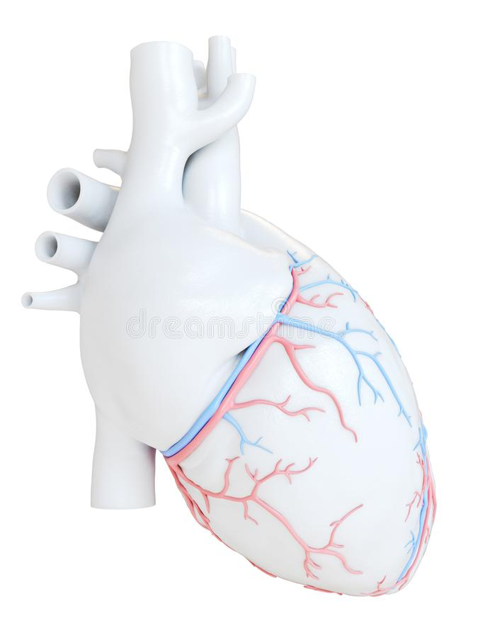 The coronary blood vessels. 3d rendered medically accurate illustration of the coronary blood vessels stock illustration