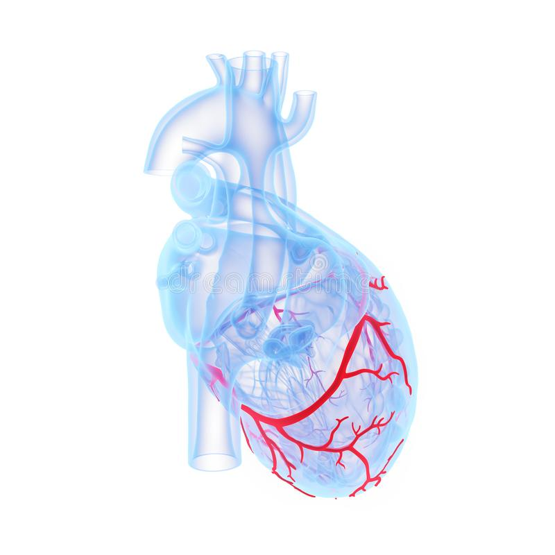 The coronary blood vessels of the heart. 3d rendered medically accurate illustration of the coronary blood vessels of the heart stock illustration