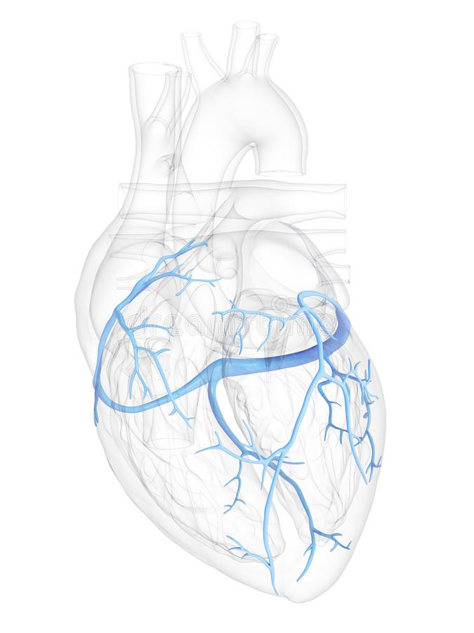 The coronary veins. 3d rendered medically accurate illustration of the coronary veins vector illustration