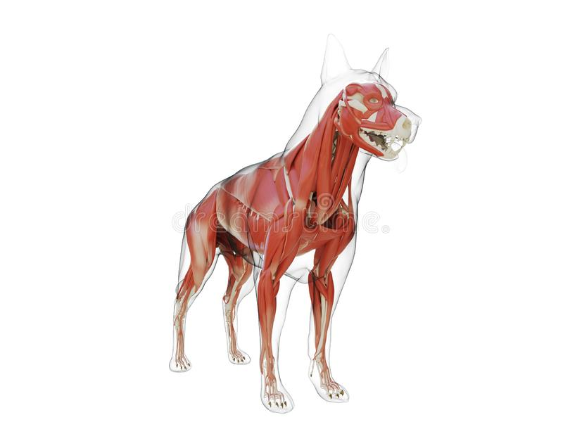 The dogs muscle system. 3d rendered medically accurate illustration of the dogs muscle system stock illustration