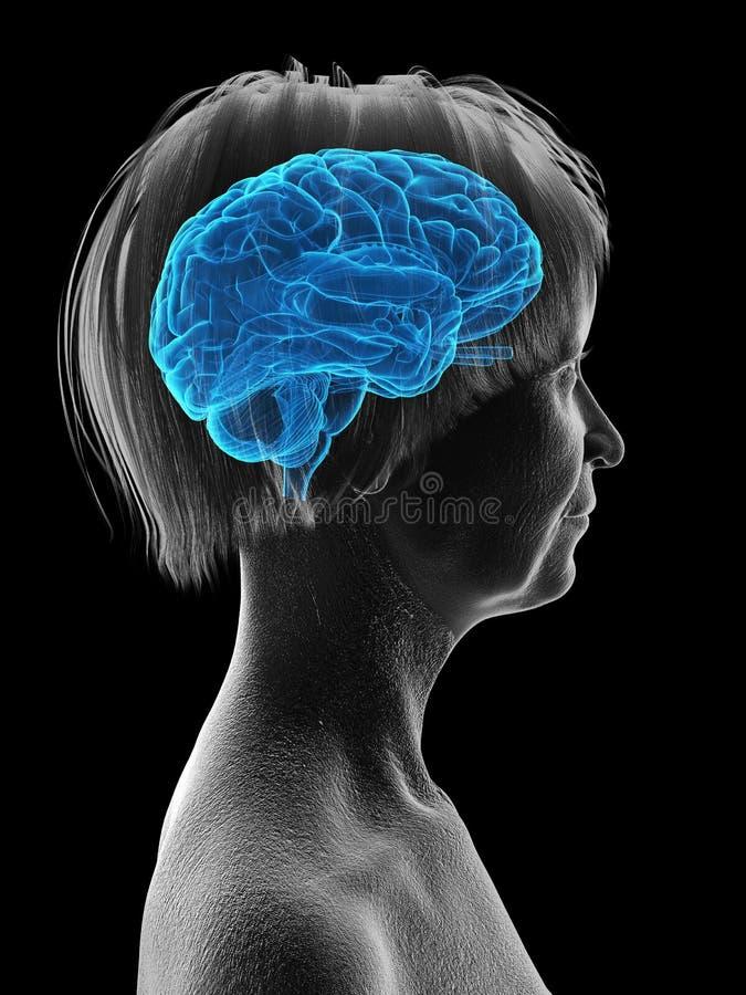 An elder females brain. 3d rendered medically accurate illustration of an elder females brain royalty free illustration