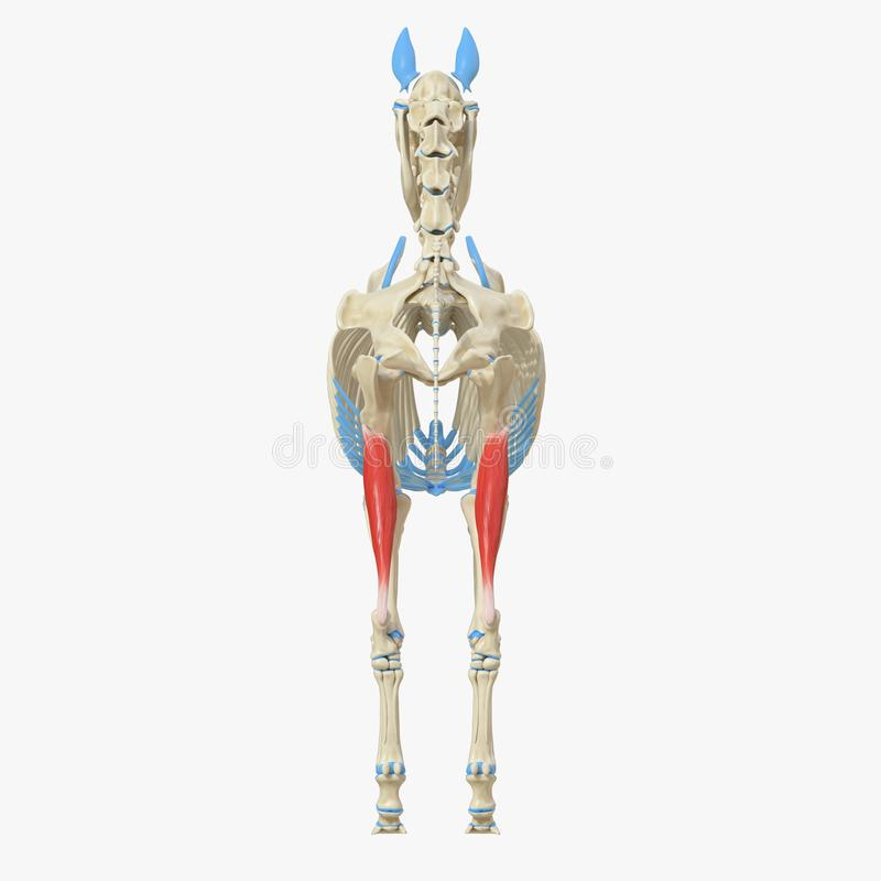 Gastrocnemius. 3d rendered medically accurate illustration of the equine muscle anatomy - Gastrocnemius royalty free illustration