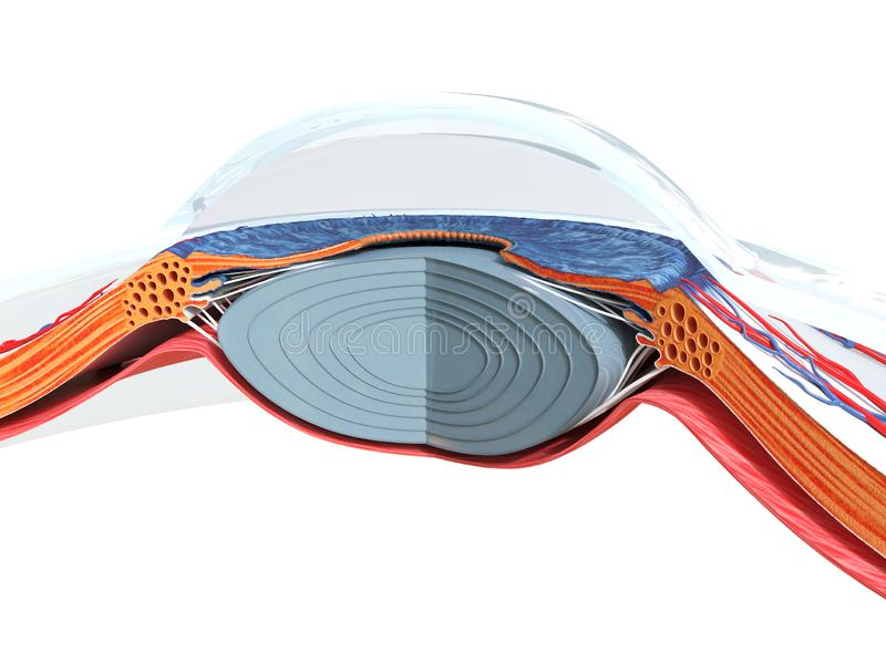 The eye anatomy. 3d rendered medically accurate illustration of the eye anatomy stock illustration