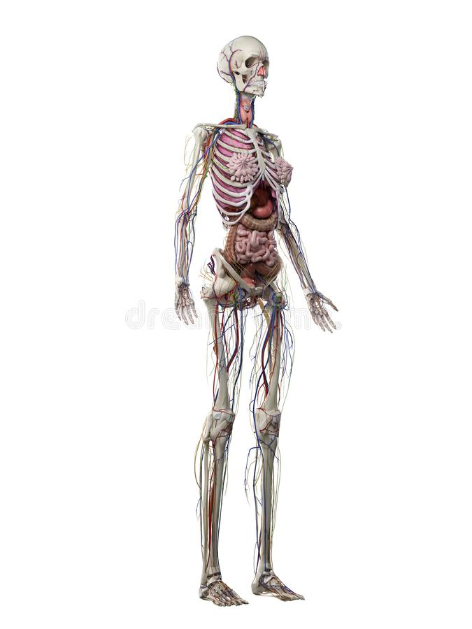 A females anatomy. 3d rendered medically accurate illustration of a females anatomy vector illustration