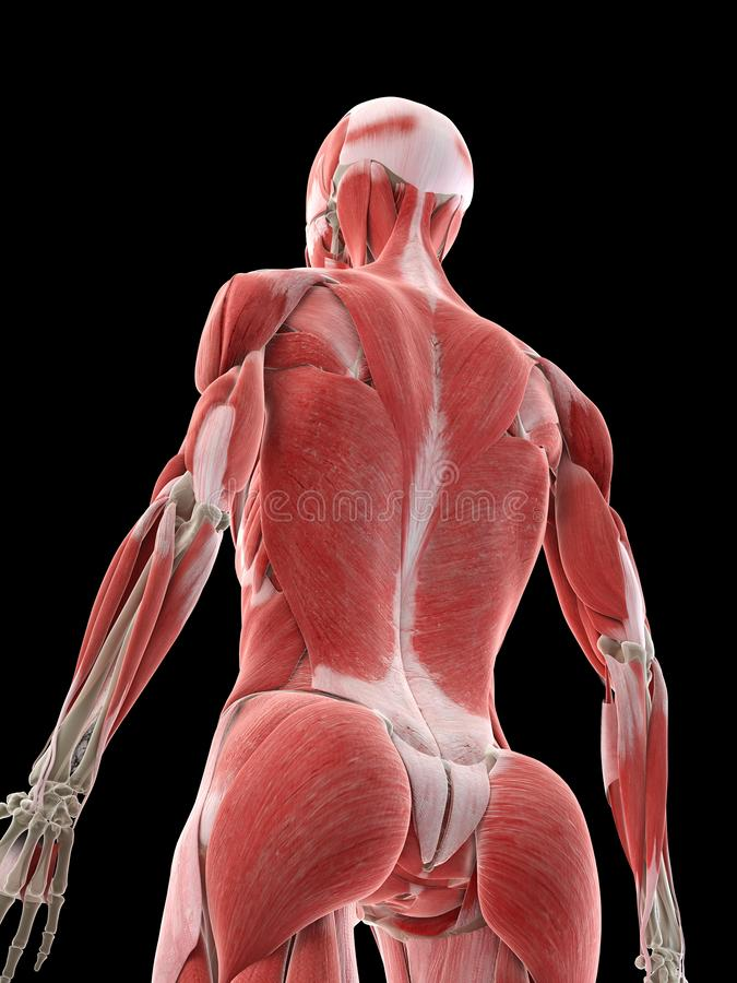 A females back muscles. 3d rendered medically accurate illustration of a females back muscles royalty free illustration