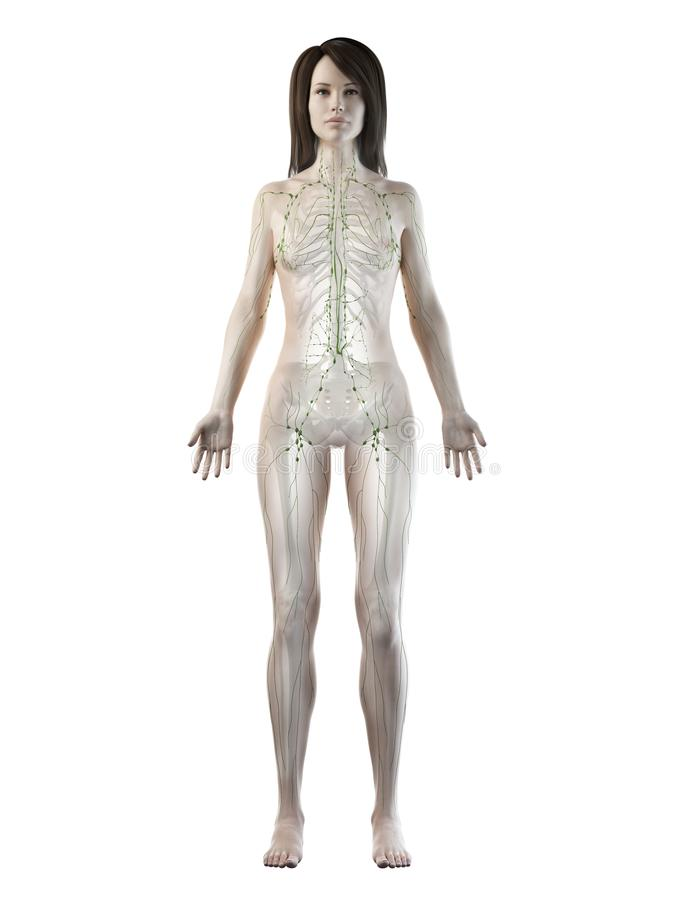 A females lymphatic system. 3d rendered medically accurate illustration of a females lymphatic system stock illustration