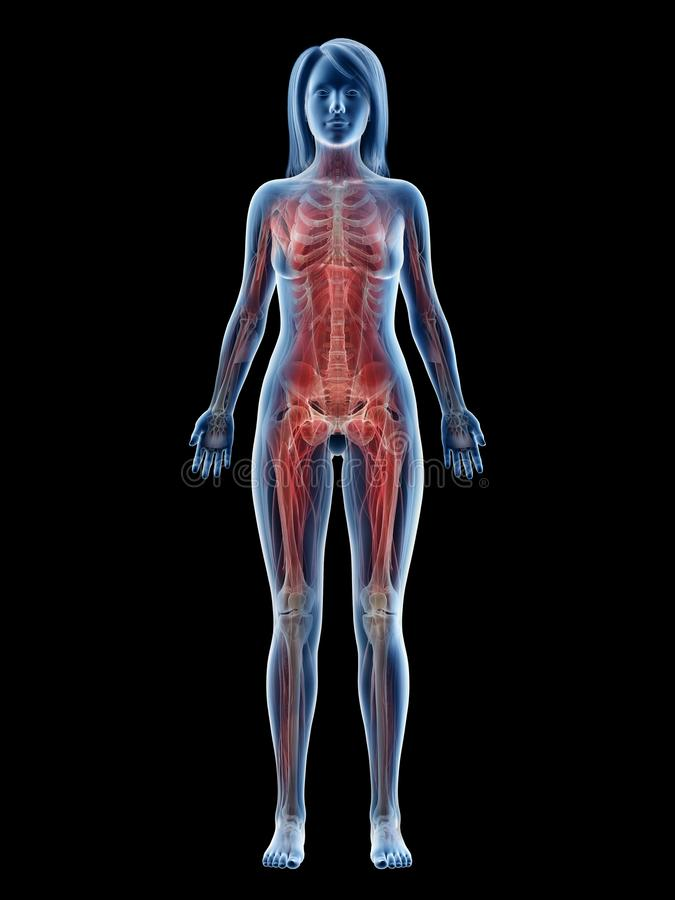 A females muscle system. 3d rendered medically accurate illustration of a females muscle system stock illustration