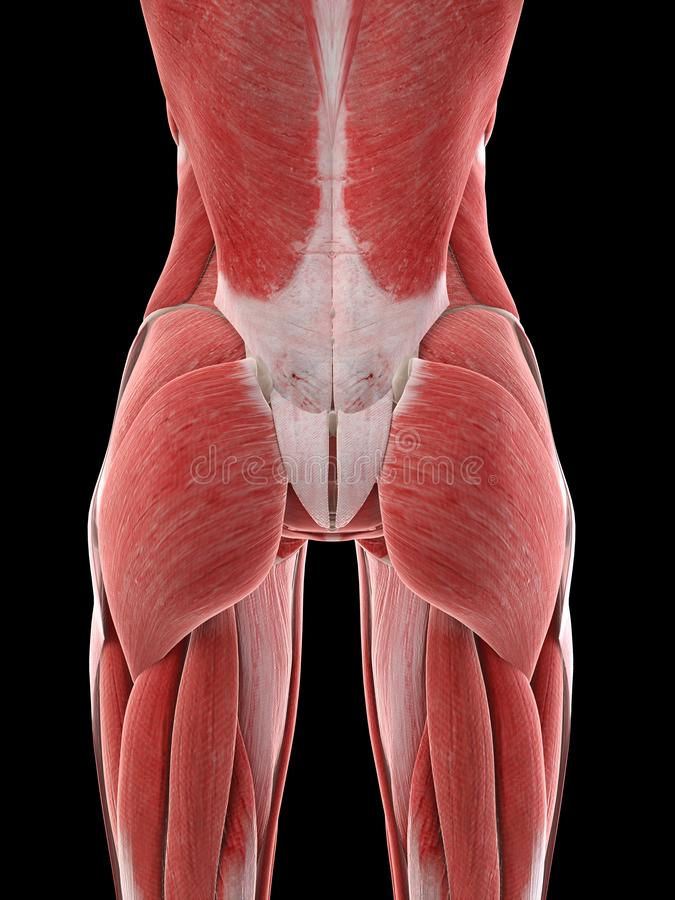 A females muscles. 3d rendered medically accurate illustration of a females muscles stock illustration