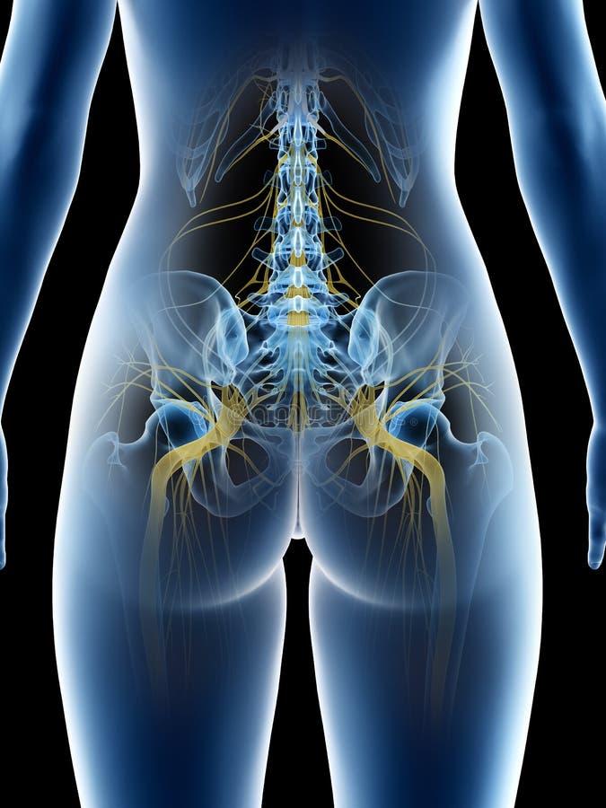 A females sciatic nerve. 3d rendered medically accurate illustration of a females sciatic nerve royalty free illustration