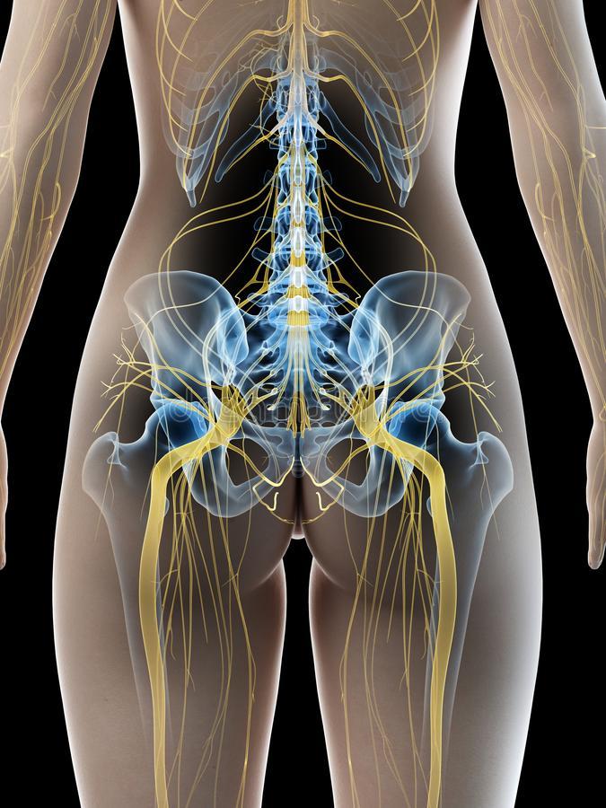 A females sciatic nerve. 3d rendered medically accurate illustration of a females sciatic nerve stock illustration