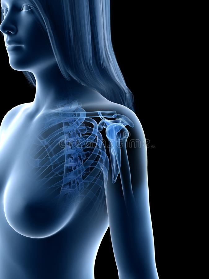 A females shoulder bones vector illustration