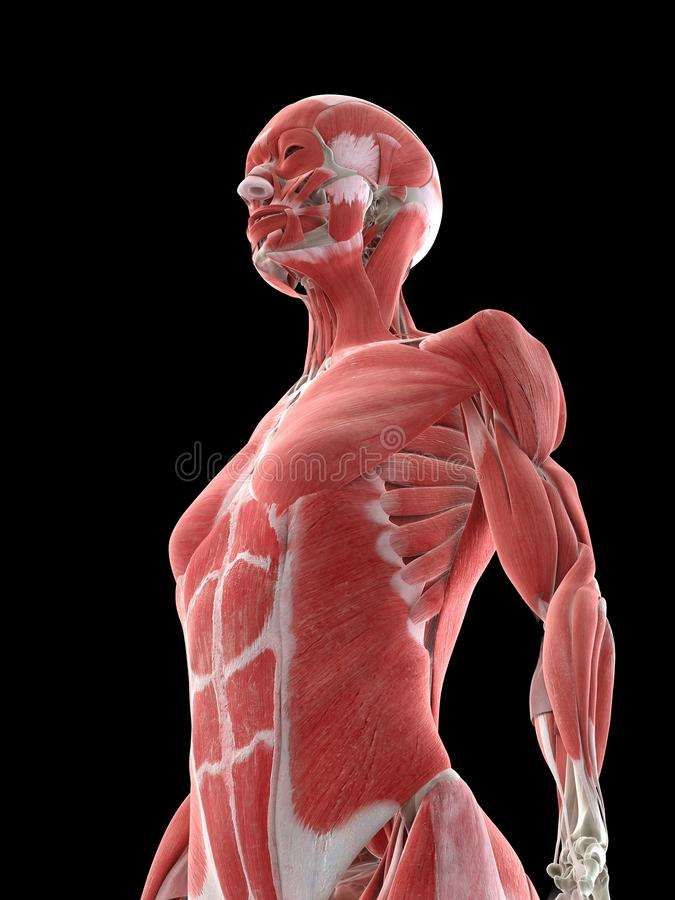A females upper body muscles stock illustration