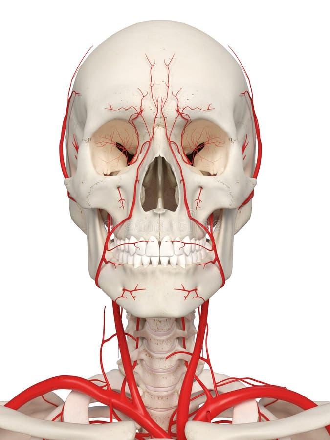 The head arteries royalty free illustration