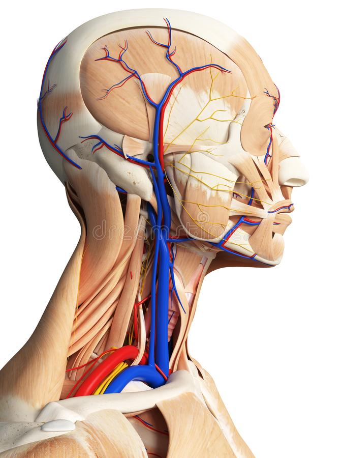 The head and neck anatomy. 3d rendered medically accurate illustration of the head and neck anatomy vector illustration
