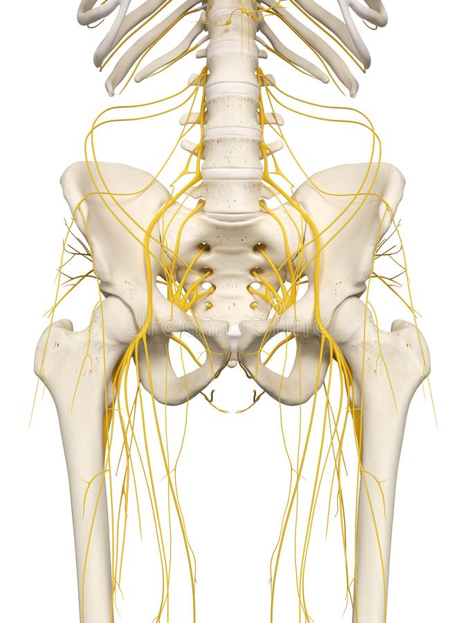 The hip nerves. 3d rendered medically accurate illustration of the hip nerves stock illustration