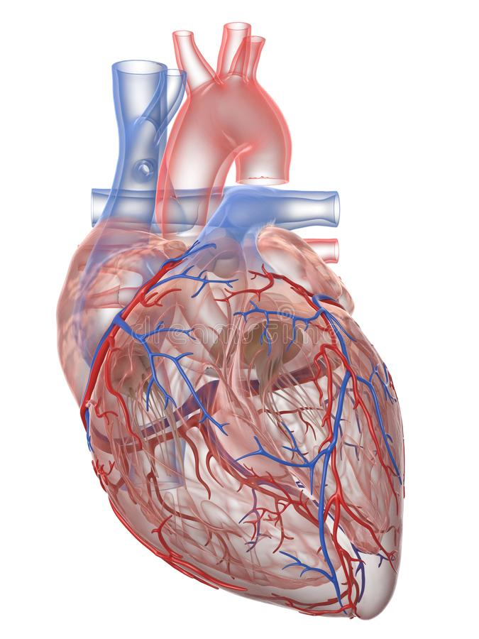 The human heart anatomy. 3d rendered medically accurate illustration of the human heart anatomy royalty free illustration